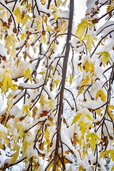 Photograph - Colorful Maple Tree Branches In The Snow    by James BO Insogna