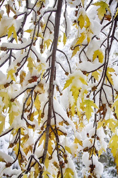 Photograph - Colorful Maple Tree Branches In The Snow  2 by James BO Insogna