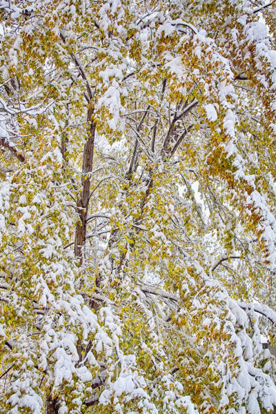 Photograph - Colorful Maple Tree In The Snow 2 by James BO Insogna
