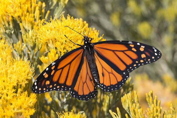 Colorful Monarch Butterfly Denver Colorado Art Print by Milehightraveler