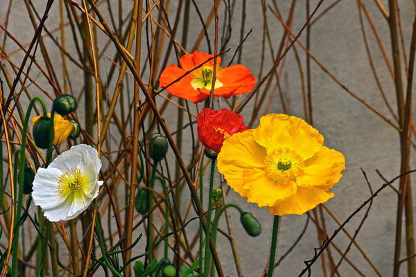 Photograph - Colorful Poppies And White Willow Stems by Byron Varvarigos