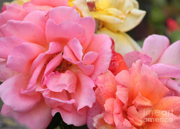 Photograph - Colorful Roses by Carol Groenen