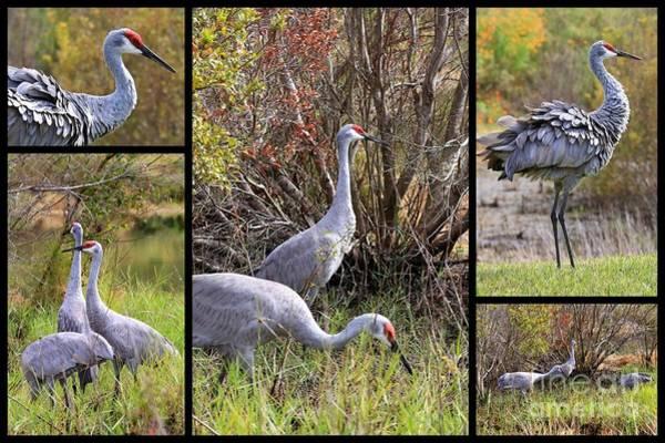 Photograph - Colorful Sandhill Crane Collage by Carol Groenen