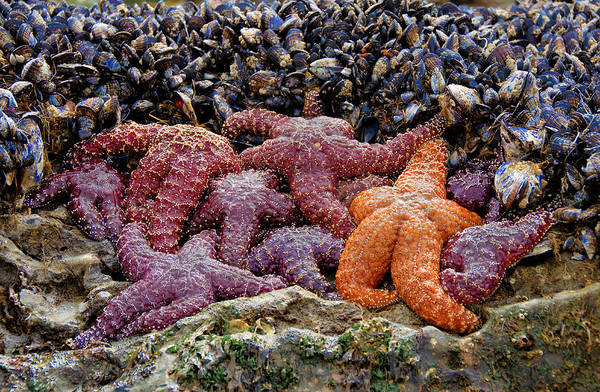 Photograph - Colorful Starfish 2 by Penny Lisowski