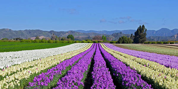 Lemon Photograph - Colorful Stock Flowers Growing In Rows by Greg Boreham (treklightly)