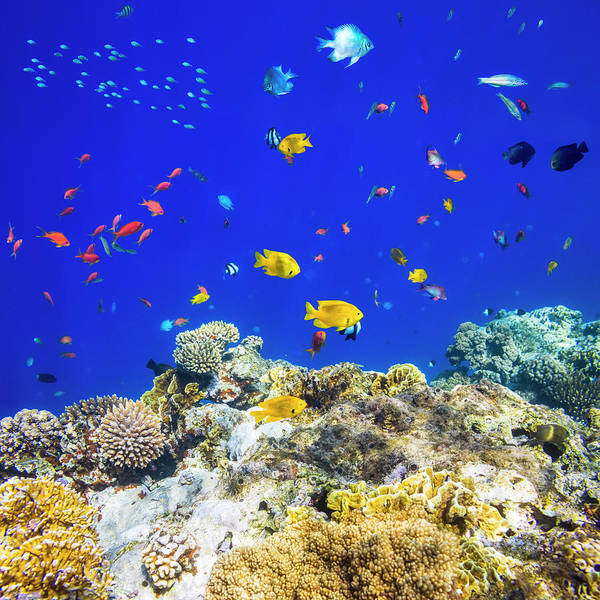 Underwater Photograph - Colorful Tropical Fish On Red Sea by Cinoby