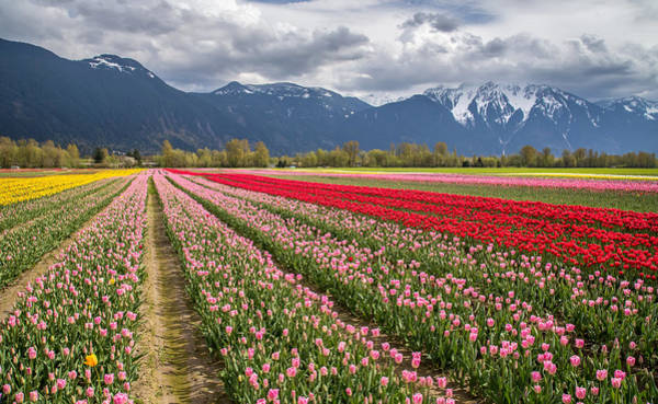 Photograph - Colorful Tulip Field In Agassiz Bc by Pierre Leclerc Photography