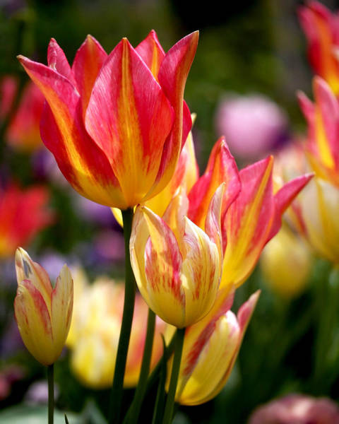 Photograph - Colorful Tulips by Rona Black