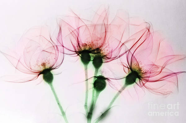 Photograph - Colorized X-ray Of Roses by Scott Camazine