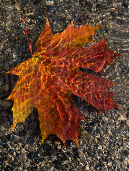 Photograph - Colors And Patterns - Charming Maple Leaf by Georgia Mizuleva