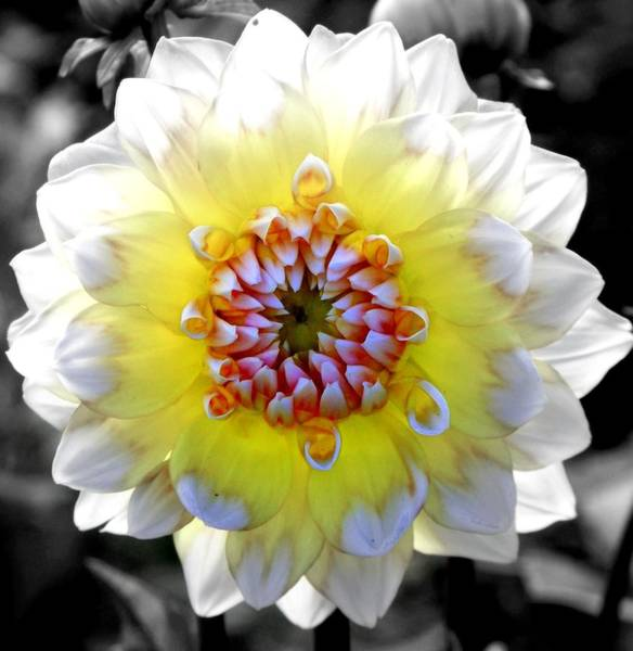 Dahlias Photograph - Colorwheel by Karen Wiles