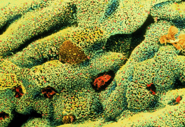 Goblets Wall Art - Photograph - Colour Sem Of Goblet Cells On Large Intestine Wall by Steve Gschmeissner/science Photo Library