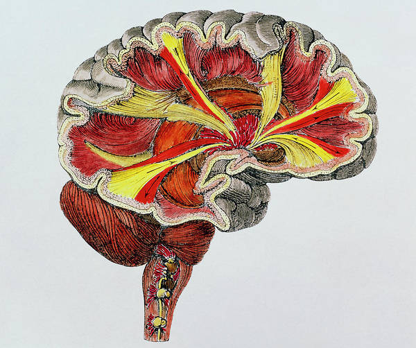 Cerebral Photograph - Coloured Engraving Of A Cross-section Of The Brain by Science Photo Library