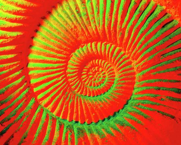 Sahara Photograph - Coloured Image Of A Fossilised Ammonite Shell by Martin Bond/science Photo Library