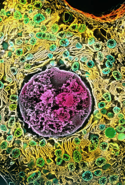 Wall Art - Photograph - Coloured Sem Of A Liver Cell (hepatocyte) by Professors P. Motta & T. Naguro/science Photo Library