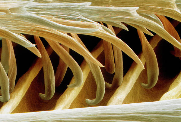 Swallow Photograph - Coloured Sem Of Barbules On A Swallow Feather by Power And Syred/science Photo Library