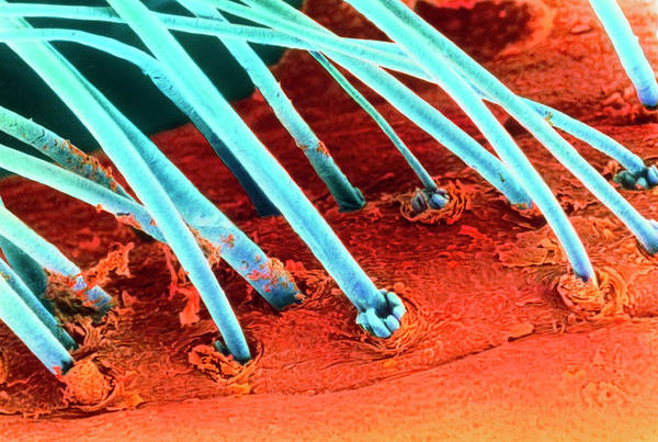 Eyelashes Wall Art - Photograph - Coloured Sem Of Eyelash Hairs by Steve Gschmeissner/science Photo Library