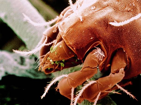 Wall Art - Photograph - Coloured Sem Of Foreparts Of Dust Mite. by Power And Syred/science Photo Library