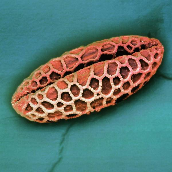 Wall Art - Photograph - Coloured Sem Of Lily Pollen Grains by Juergen Berger/science Photo Library