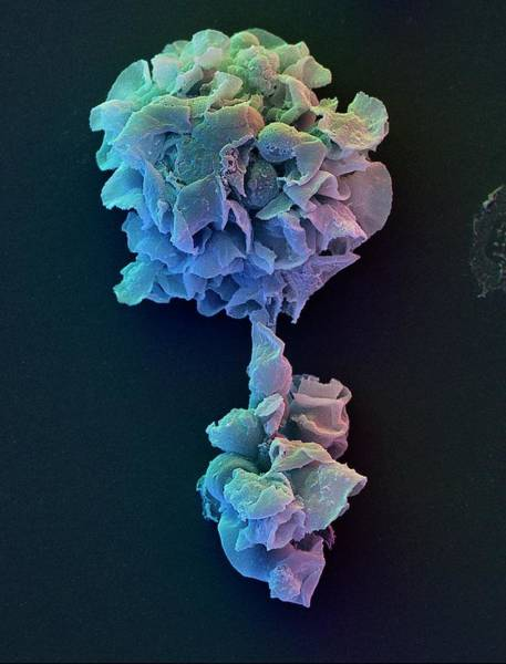 Wall Art - Photograph - Coloured Sem Of Phagocytic Macrophages by David Scharf/science Photo Library