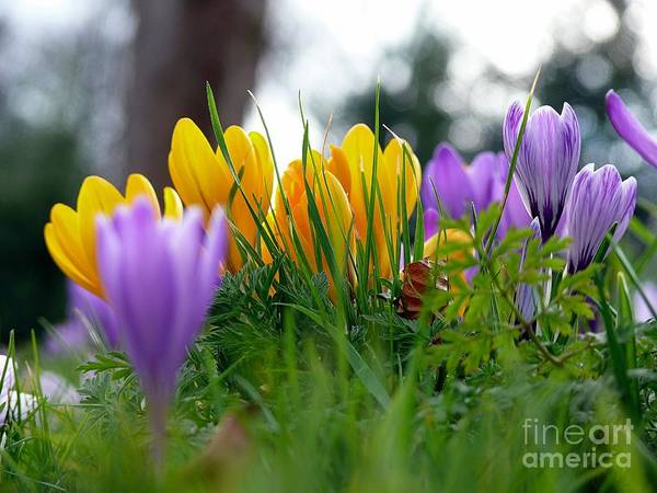 Mixed Media - Colourful Crocus by Morag Bates