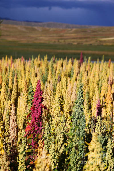 Photograph - Colourful Quinoa Plants by James Brunker