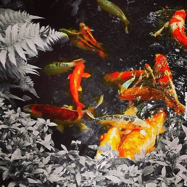 Japanese Koi Photograph - #coloursplash#black And White# by Vicky Combs