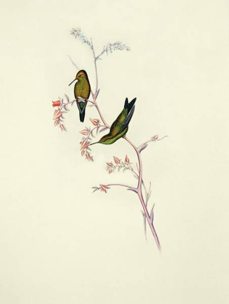 Wall Art - Photograph - Columbian Emerald Hummingbirds by Natural History Museum, London/science Photo Library