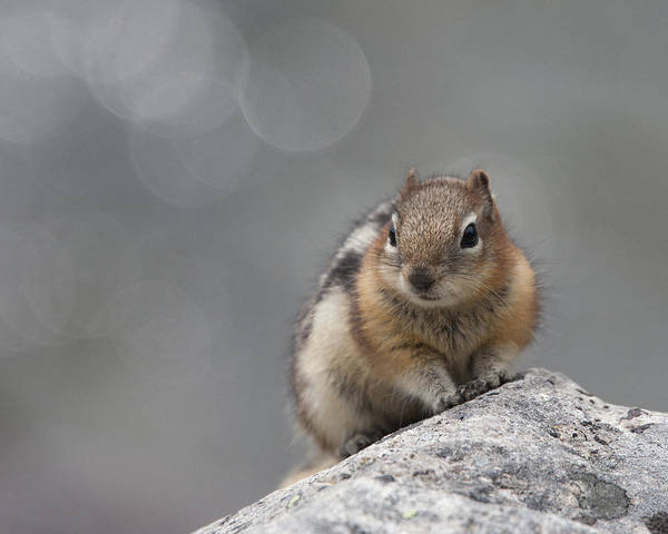Photograph - Columbian Ground Squirrel by Tony Mills