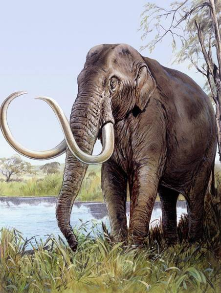Wall Art - Photograph - Columbian Mammoth by Michael Long/science Photo Library