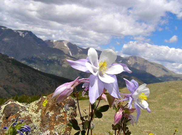 Photograph - Columbine  by Alan Johnson
