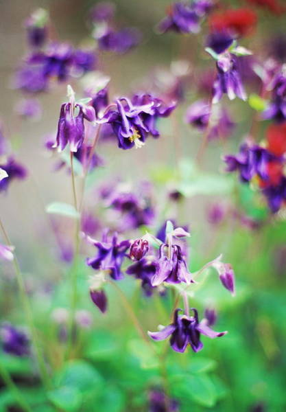 Wall Art - Photograph - Columbine (aquilegia Atrata) by Rachel Warne/science Photo Library