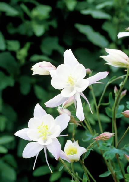 Wall Art - Photograph - Columbine (aquilegia 'snow Queen') by Darryl Sweetland/science Photo Library