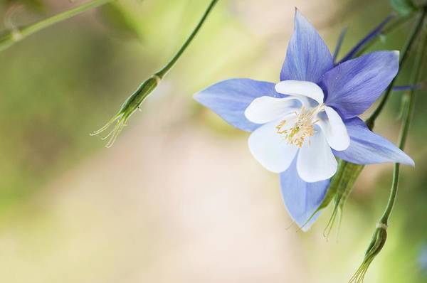 Wall Art - Photograph - Columbine (aquilegia Sp.) In Flower by Maria Mosolova/science Photo Library