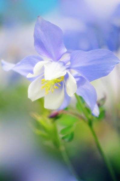 Wall Art - Photograph - Columbine (aquilegia Sp.) by Maria Mosolova/science Photo Library