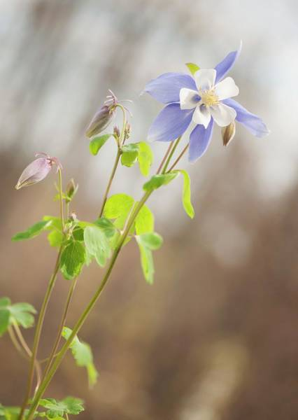 Wall Art - Photograph - Columbine (aquilegia 'swan Blue And White') by Maria Mosolova/science Photo Library