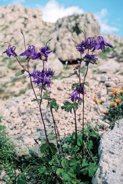Aquilegia Photograph - Columbine (aquilegia Viscosa) by Bruno Petriglia/science Photo Library