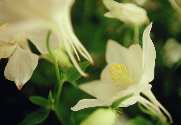 Wall Art - Photograph - Columbine (aquilegia 'white Dove') by Rachel Warne/science Photo Library