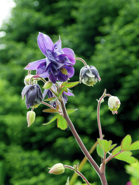Wall Art - Photograph - Columbine (aquilegia 'woodside') by Ian Gowland/science Photo Library