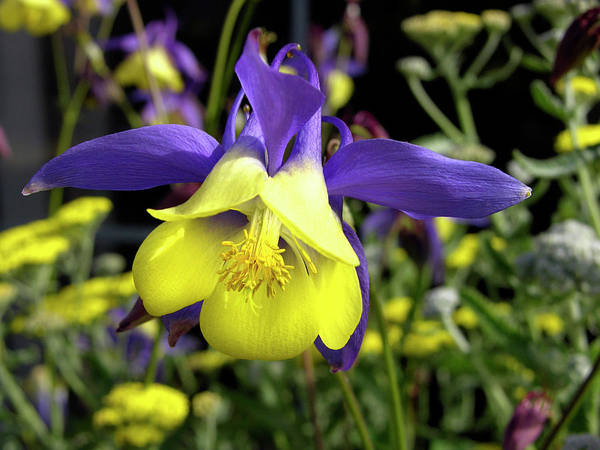 Wall Art - Photograph - Columbine Flower (aquilegia Sp.) by Tony Craddock/science Photo Library