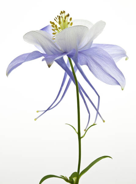 Wall Art - Photograph - Columbine Flower by Photo By John Rice