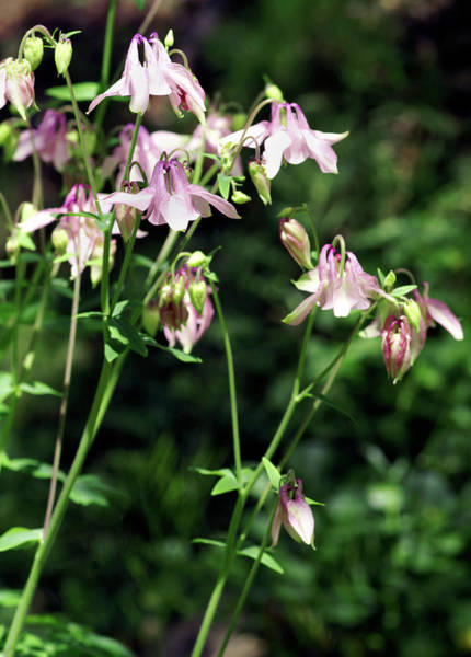 Wall Art - Photograph - Columbine Flowers (aquilegia Skinneri) by Brian Gadsby/science Photo Library