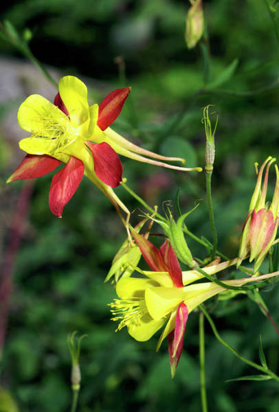 Wall Art - Photograph - Columbine Flowers (aquilegia Triternata) by Brian Gadsby/science Photo Library