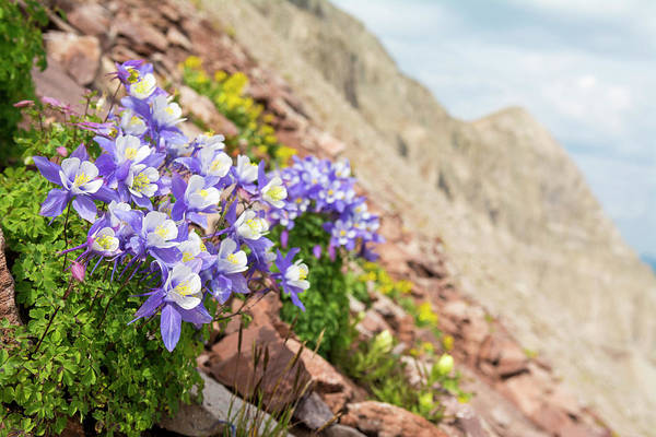 Wall Art - Photograph - Columbine Flowers Aquilegia†growing by Kennan Harvey