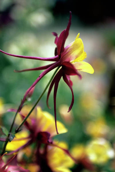 Wall Art - Photograph - Columbine Hybrid (aquilegia 'mckana') by Rachel Warne/science Photo Library