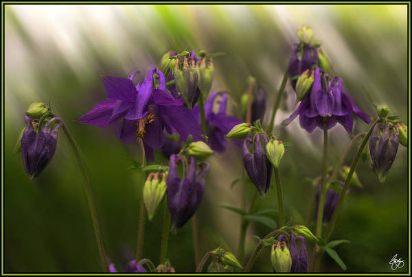 Photograph - Columbine In Motion by Wayne King