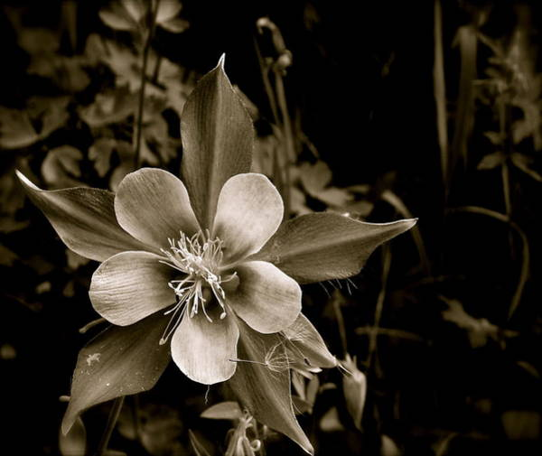 Photograph - Columbine by Kim Pippinger