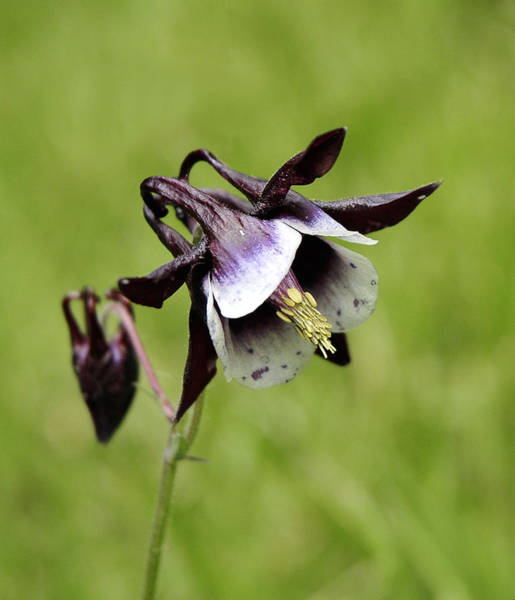 Photograph - Columbine by Lara Ellis