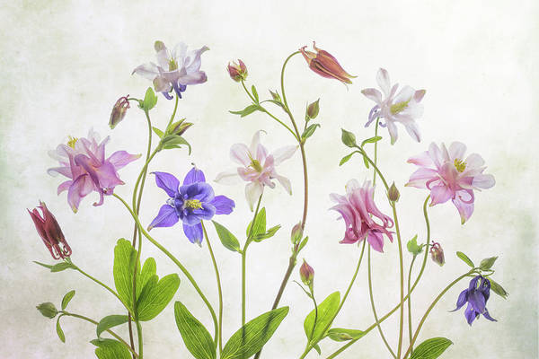 Wall Art - Photograph - Columbine by Mandy Disher