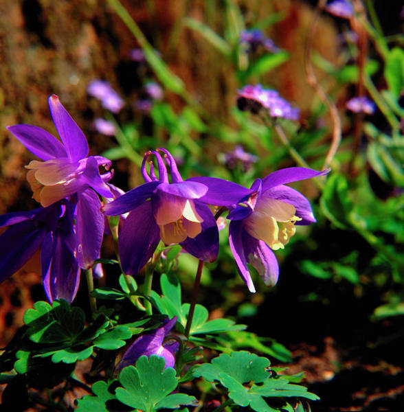 Wall Art - Photograph - Columbine by Mike Vardy/science Photo Library